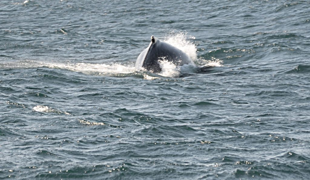 A humpback whale diving in the fjord near Akureyri
